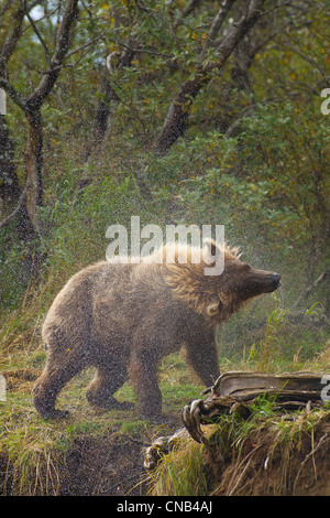 A Brown bear shakes water off after fishing in Grizzly Creek, Katmai National Park, Southwest, Alaska, Summer - Stock Photo