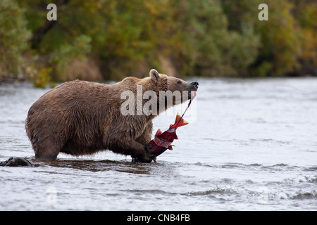 Brown bear eats a Sockeye salmon while standing in Grizzly Creek, Katmai National Park, Southwest Alaska, Summer - Stock Photo