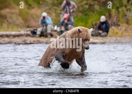 Brown bear jumps to pounce on a Sockeye salmon, Grizzly Creek, Katmai National Park, Alaska - Stock Photo