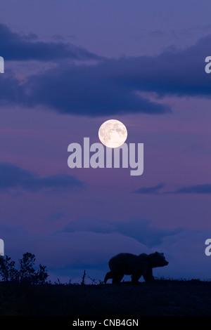 COMPOSITE: Brown bear silhouetted against the night sky with a full moon overhead, Katmai National Park, Alaska - Stock Photo