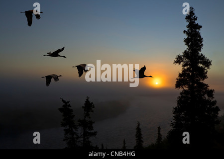COMPOSITE: Sandhill Cranes take flight at sunrise from their roosting area near Kulik Lake, Katmai National Park, - Stock Photo