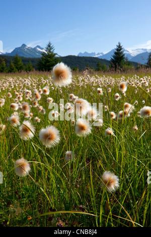 Alaska Cotton grass in the Mendenhall wetlands, Juneau, Southeast Alaska, Summer - Stock Photo