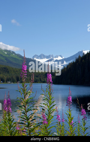 Scenic view of Auke Lake and Fireweed with Mendenhall Glacier and Coast Range Mountains, Southeast Alaska, Summer - Stock Photo