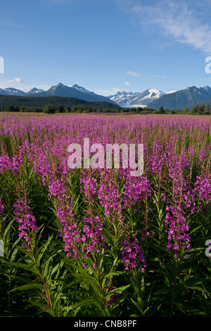 Scenic view of a field of Fireweed with Mendenhall Glacier and Towers in the background, Southeast Alaska, Summer - Stock Photo