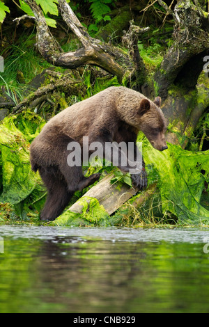 Young Brown Bear fishing along the shore, Tongass National Forest, Southeast Alaska, Summer - Stock Photo