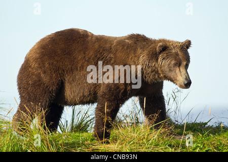 A Brown bear forages along the shoreline in Katmai National Park and Preserve, Southwest Alaska, Summer - Stock Photo