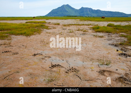 Brown bear tracks in the mud at Hallo Bay, Katmai National Park and Preserve, Southwest Alaska, Summer - Stock Photo