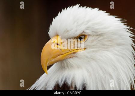 CAPTIVE: Portrait of a Bald Eagle Alaska Wildlife Conservation Center, Southcentral Alaska. Southcentral Alaska. - Stock Photo
