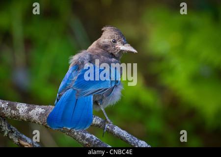 Steller's Jay chick sits on a branch, near Valdez, Southcentral Alaska, Summer - Stock Photo