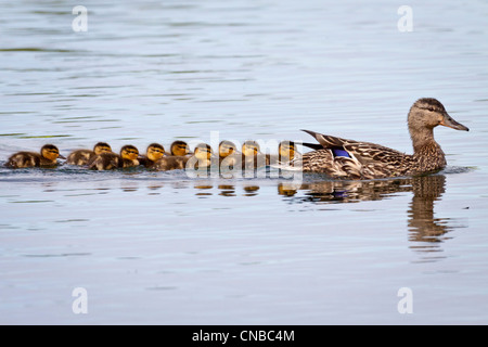 A Mallard hen with brood of chicks following, Cheney Lake, Anchorage, Southcentral Alaska, Spring - Stock Photo