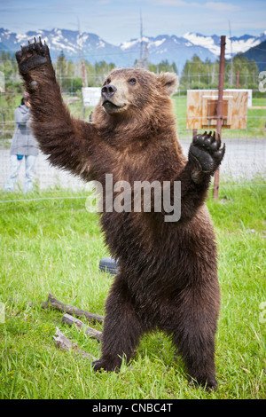 CAPTIVE: Male Kodiak Brown bear 20-month-old cub stands on hind feed with its arms outstretched, Southcentral Alaska, - Stock Photo
