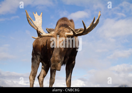 CAPTIVE: Close up and low angle view of a bull moose, Alaska Wildlife Conservation Center, Southcentral Alaska, - Stock Photo