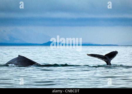 Humpback Whales showing fluke and back fin in Icy Strait, Glacier Bay National Park & Preserve, Inside Passage - Stock Photo