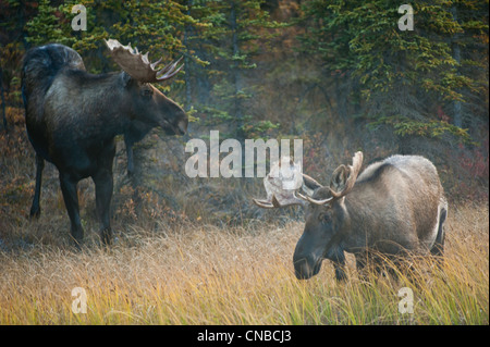 A pair of bull moose wander through a taiga forest in early morning in Denali National Park & Preserve, Interior - Stock Photo