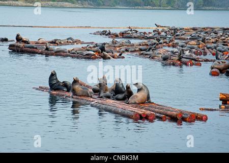Steller and Califonia Sea Lions at Craig Bay logging yard, Nanoose Bay Vancouver Island BC.  SCO 8099 - Stock Photo