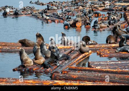 Steller and Califonia Sea Lions at Craig Bay logging yard, Nanoose Bay Vancouver Island BC.  SCO 8102 - Stock Photo