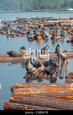 Steller and Califonia Sea Lions at Craig Bay logging yard, Nanoose Bay Vancouver Island BC.  SCO 8103 - Stock Photo