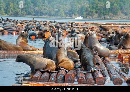 Steller and Califonia Sea Lions at Craig Bay logging yard, Nanoose Bay Vancouver Island BC.  SCO 8104 - Stock Photo