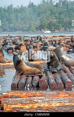 Steller and Califonia Sea Lions at Craig Bay logging yard, Nanoose Bay Vancouver Island BC.  SCO 8105 - Stock Photo