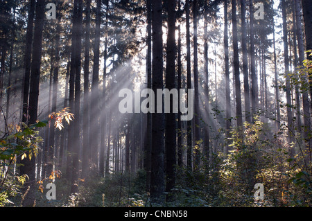 Rays of sunlight shining between trees in a forest - Stock Photo
