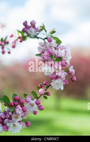 Malus 'snow cloud' .  Crab Apple Tree blossom - Stock Photo