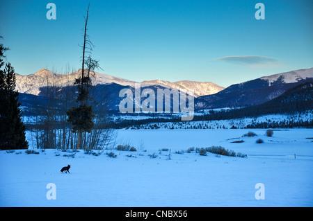 Black fox in summit county Colorado - Stock Photo
