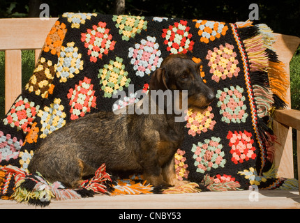 Wire-haired Dachshund sitting on bench - Stock Photo