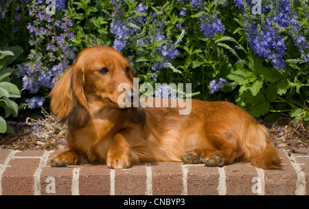 Long-haired dachshund on brick wall with flowers behind - Stock Photo