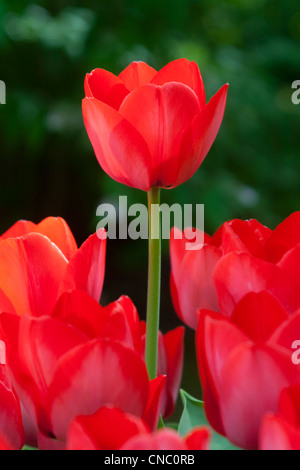 Netherlands, Lisse, Keukenhof, Red Tulips - Stock Photo