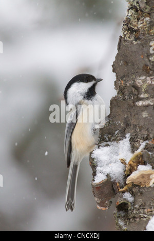 Close up of a Black-capped Chickadee perched on a tree during a snowfall, Chugach Mountains, Southcentral Alaska, - Stock Photo