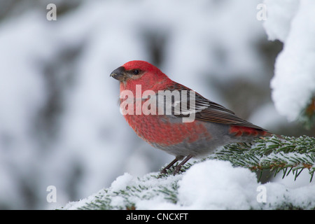 Male Pine Grosbeak perched on snow covered spruce bough, Girdwood, Chugach Mountains, Southcentral Alaska, Winter - Stock Photo