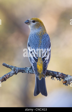 Female Pine Grosbeak perched on lichen covered branch, Anchorage, Chugach Mountains, Southcentral Alaska, Winter - Stock Photo