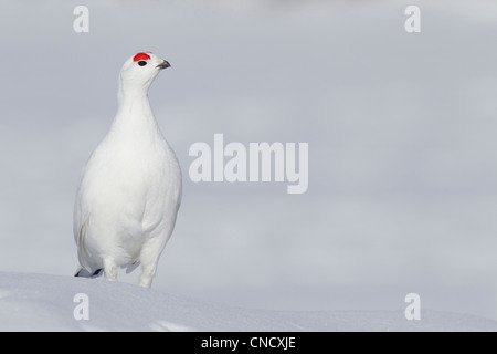 Male Willow Ptarmigan in winter plumage standing on hard packed snow with red crest visible, Chugach Mountains, - Stock Photo