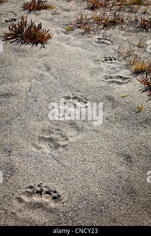 Bear prints in the sand, Glacier Bay National Park & Preserve, Southeast Alaska, Summer - Stock Photo