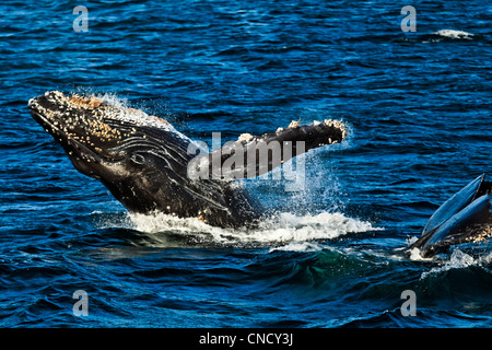A pair of Humpback Whales,  breaching and lifting tail in the waters of Icy Strait, Glacier Bay National Park & - Stock Photo