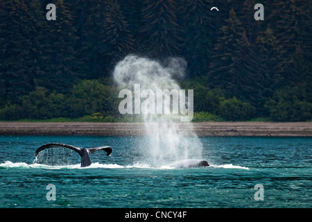 A group of Humpback Whales feeding, blowing, and diving in Icy Strait, Glacier Bay National Park & Preserve, Alaska - Stock Photo