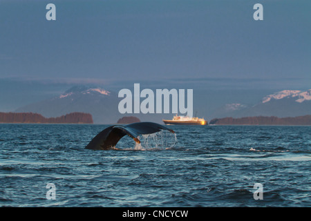 View of a Humpback Whale tail and diving in Lynn Canal with a Alaska Marine Highway Ferry in the background, Alaska - Stock Photo