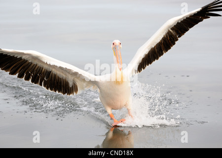 Great White Pelican landing on water. - Stock Photo