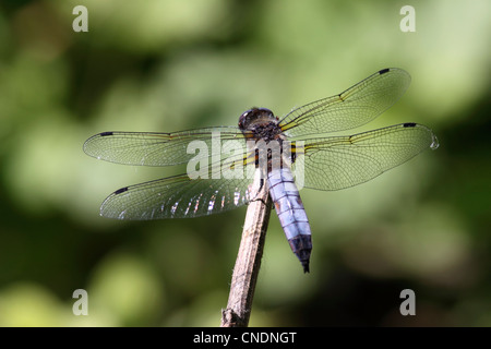The scarce chaser dragonfly male resting on twig in Northern Greece - Stock Photo
