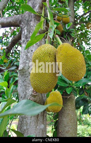 Durian fuit growing in field in Ratchaburi Province, Thailand - Stock Photo