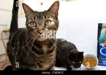 Cat Cats Domestic house cat - Stock Photo