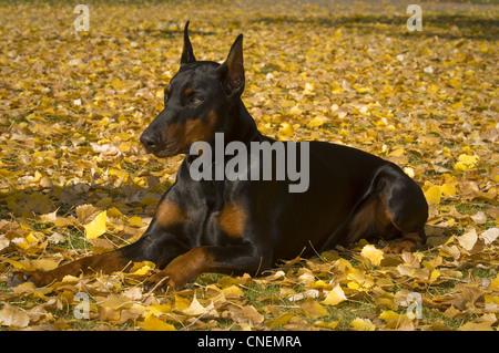 Doberman Pinscher lying down in autumn leaves - Stock Photo