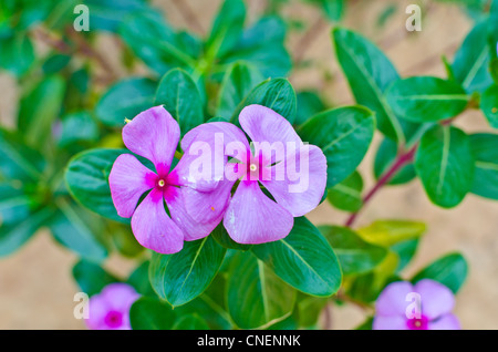 Impatiens walleriana / Balsam / Busy / Lizzy flowers with pink color - Stock Photo