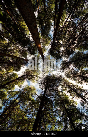 Looking up into the tree tops of a pine forest in Mpumalanga, South Africa - Stock Photo