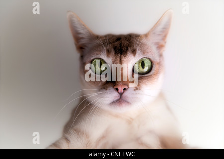 Cute little Singapura Cat staring, with big green eyes, enigmatic expression - Stock Photo