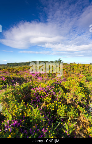 Heathland near Budleigh Salterton Devon - Stock Photo