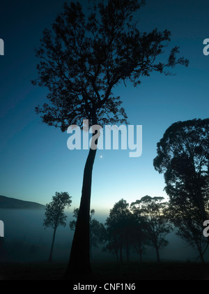 Eucalyptus trees in twilight mist and moon, on farm near Tilba, NSW AUSTRALIA - Stock Photo