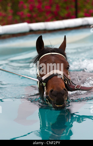 Mark Johnston Racing Stables, Middleham in the North Yorkshire Dales, National Park, UK   Broxbourne. Thoroughbred - Stock Photo