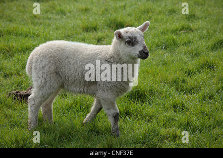 A lamb in a field during lambing season in Nidderdale, Yorkshire - Stock Photo