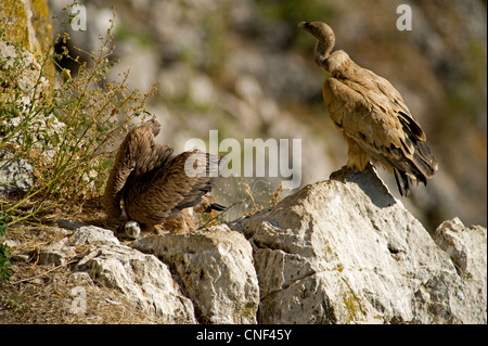 Adult Griffon Vulture standing on edge of nesting area with it's approximately  3 month old chick in nest with wings - Stock Photo